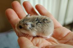 How can one say no to such a thing? Cute Animal Memes, Cute Animal Photos, Cute Funny Animals, Cute Cats, Puppies And Kitties, Baby Puppies, Funny Hamsters, Robo Dwarf Hamsters, Roborovski Hamster