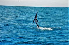 Hooked on Fly Fishing #sailfish #guatemala #pacificfins