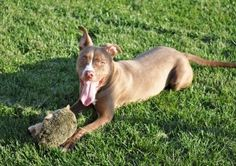 Mocha is an adoptable Pit Bull Terrier Dog in Milwaukee, WI. Meet ...