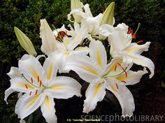 Lilium AMAZING - Beautiful, tall and fragrant. What's not to like.