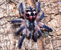 This is my dream tarantula a single baby sling less than the size of a dime is about $300