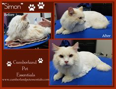 """Simon says... """"Tell me I'm handsome!"""" You're handsome Simon!! 😍😍 #GroomedCatsAreHappyCats #PrettyKitty #Siamese #Ragdoll #CatsofPinterest Cat Grooming, Simon Says, Pretty Cats, Siamese, Cat Hairstyles, Pets, Handsome, Animals, Beautiful Cats"""