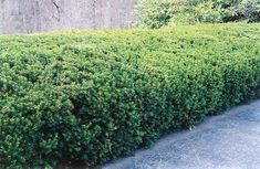 Dense Yew  Dense, low, spreading shrub is an excellent basic foundation planting for hedge, screen or border. Dark green foliage backs scarlet berry-like cones. Versatile and durable, tolerates shearing well.  4'H x 4'W