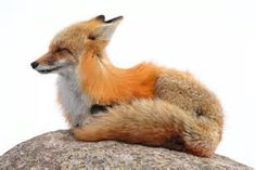 Image result for red fox kits Vulpes vulpes windows 10