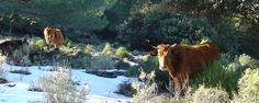 Vacas por el Massanella #Mallorca