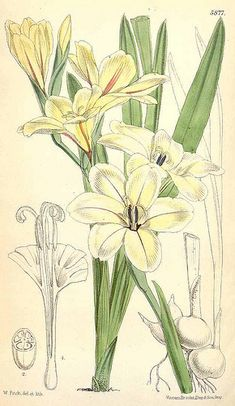 Gladiolus grandiflorus - circa 1870   From our collection of…   Flickr