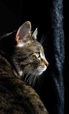 Tabby Cats Grey This looks like a stray cat I've been feeding that. You are in the right place about Cute Cats aesthetic Here we offer you the most beaut Crazy Cat Lady, Crazy Cats, I Love Cats, Cool Cats, Cats And Kittens, Tabby Cats, Kitty Cats, Ragdoll Kittens, Bengal Cats