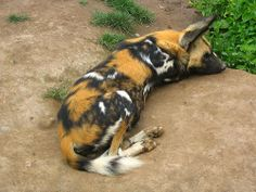 Funny African Wild Dogs   The African wild dog, The Lycaon (Lycaon pictus) (20 Pics)