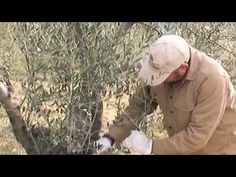 Olive tree pruning 101video