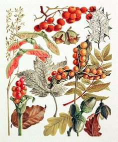 Autumn fruit - great variety includes Acer, Alum, Acorns (wonderful alliteration in this illustration) Vintage Prints, Vintage Botanical Prints, Botanical Drawings, Botanical Art, Illustration Botanique Vintage, Floral Illustration, Nature Illustration, Vintage Botanical Illustration, October Gallery