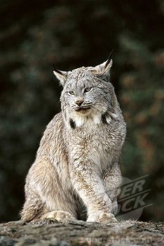 Lynx (Felis lynx). Montana, USA