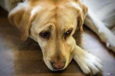 Labradorka wie, że robi źle... krzyczę... i nic nie pomaga