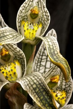 **Porcelain Orchid. Photo by our professional photographer & wildlife guide Diego Araya