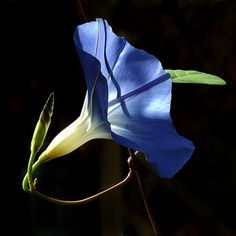 10. I always remember waking up as a kid and seeing the morning glories out in Mom's garden. Beautiful delicate flowers.
