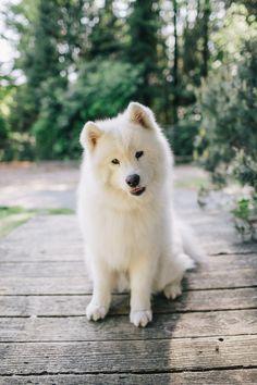 fulffy polar bear / white wolf dog!! <3