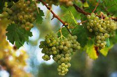 Frische Weintrauben an der Rebe http://www.ohmyprints.com/de/motiv/Frische-Weintrauben-an-der-Rebe/41889/132 #winzer #weinstock #weinberg #wein #weintrauben #natur #ernte #weinlese #weinanbau #anbau #weinkeller #genuss #weintraube #frisches #food #foodie #foodies #essen #gesund #gesundheit #weinrebe