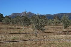 Which Olive Cultivars are commercially grown in South Africa? Read this post to find out. www.facebook.com/olivefactory Olives, Olive Oil, South Africa, How To Find Out, Mountains, Facebook, Travel, Outdoor, Viajes