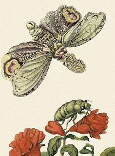 Art, Science, and Butterfly Metamorphosis: How a 17th-Century Woman Laid the Foundations of Modern Entomology – Brain Pickings