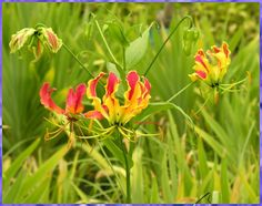 Gloriosa Lily, Flame of the Woods, Flame Lily, Climbing Lily ...