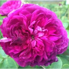Hybrid Perpetual Rosa 'Reine des Violettes'. Large full quartered blooms of an unusual lilac-purple. Good scent. Greyish foliage with few thorns. Repeat flowering. A large shrub or short pillar rose. Size:1.8m x 1.5m