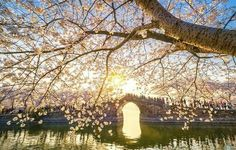 Cherry Blossoms Have Just Bloomed In China, And It's Probably One Of The Most Amazing Sights On The Planet - Beauty of Planet Earth Travel Around The World, Around The Worlds, Beauty Planet, National Symbols, Tag Image, Pale Blue Dot, Wuxi, In The Flesh, Bored Panda