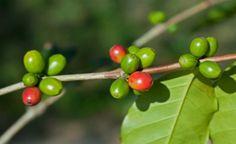 Poderoso antioxidante, óleo de café verde ajuda a emagrecer, previne diabetes e serve como protetor solar