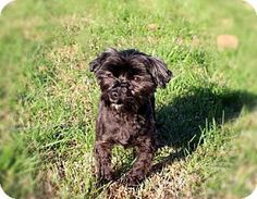 Hagerstown, MD - Maltese/Poodle (Miniature) Mix. Meet ZEKE, a dog for adoption. http://www.adoptapet.com/pet/17832768-hagerstown-maryland-maltese-mix