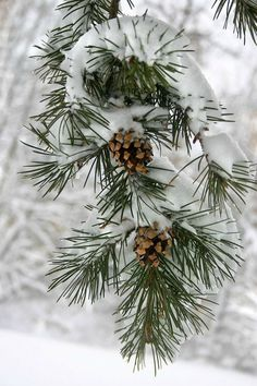 pine cones in the snow 12 06 2014 Winter Szenen, I Love Winter, Winter Magic, Winter Season, Christmas Art, Winter Christmas, I Love Snow, Winter Wallpaper, Snow Scenes
