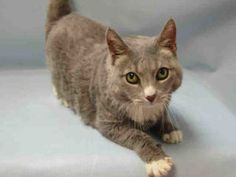*** STILL ALIVE  08/20/16 *** WONDERFUL WASABI....AVERAGE RATED, SPAYED & 7 YEARS YOUNG!! WASABI is a winsome lady, said to be found as a stray......She is totally enchanting with her little white toe tips and the ACC says