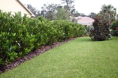 Awabuki Viburnum recommended to me, by an experienced gardener, for here in Central Florida as a fast growing, inexpensive hedge / privacy border. Florida Landscaping, Privacy Landscaping, Outdoor Landscaping, Outdoor Gardens, Landscaping Ideas, Privacy Hedge, Palm Garden, Garden Club, Florida Images