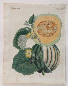 """Pumpkin, 1800. Handkolorierter Kupferstich aus F.J. Bertuch """"Bilderbuch für Kinder"""""""