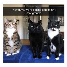 cat family getting a dog funny memes, funny cats - Tap the link now to see all of our cool cat collections!