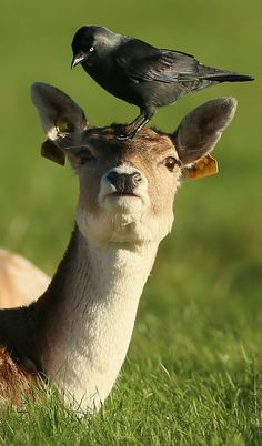 Mind your head: A crow lands on the head of a young deer in Dublin's Phoenix Park. (PA)
