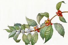 During the month of April in 2016, i was asked by advertisement agency from Lithuania (MILK) to create an old looking, botanical drawing of coffee plant. The drawing size is A1, done by pencil, watercolour and finished in photoshop. The design is done by …