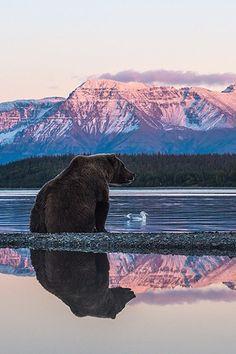 Grizzly bear at Naknek Lake // Wow. #SicEm