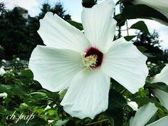 #white#hibiscus