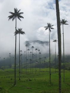 Valle de Cocora, Colombia- I must go here and see these tickly tall palm trees! Colombia South America, South America Travel, Latin America, Beautiful World, Beautiful Places, Beautiful Pictures, Travel Images, Travel Pictures, Great Places