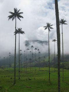 Valle de Palmeras (Valley of the Palms) aka Valle de Cocoras. COLOMBIA