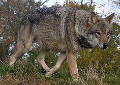 Lunca-European-Wolf.jpg