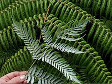 The Silver Fern Cyathea dealbata, also known as silver fern or ponga, has become the embodiment of the spirit of New Zealand. It is a scaly tree fern with a trunk up to 10 m tall and has a white or. Fern Frond, Tree Fern, John Wilson, Waitangi Day, Types Of Ferns, Silver Fern, National Animal, Vascular Plant, New Zealand Travel
