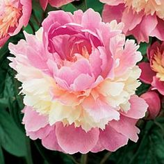 Sorbet Peony The unusual pink and white double blooms of this hybrid are as delectable as an elegant dessert. The fragrant flowers provide breathtaking beauty in early summer, and the handsome foliage turns red in autumn.