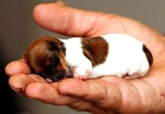 Tiny Jack Russell Chihuahua mix - I LOVE newborn puppies! I will never forget the first time when I helped deliver newborn puppies:):) Tiny Puppies, Cute Puppies, Cute Dogs, Teacup Puppies, Havanese Puppies, Adorable Babies, Cute Baby Animals, Animals And Pets, Funny Animals