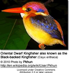 Ceyx erithaca - Oriental Dwarf Kingfisher -  also known as Black-backed Kingfisher