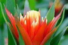 stock photo of bromeliad - close up macro beautiful bromeliad flower after rain - JPG