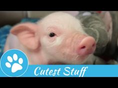 Baby and Micro Pig Compilation 2015 | Cutest Stuff - YouTube