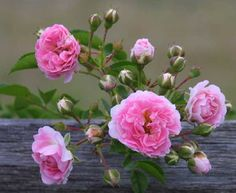 Seven Sisters rose...This will be my next rose purchase.