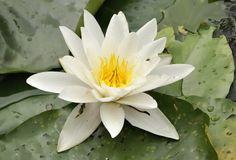 "* Ninféia *  ""Lotus Branca"", ""Nenúfar"". ( Nymphaea alba)."