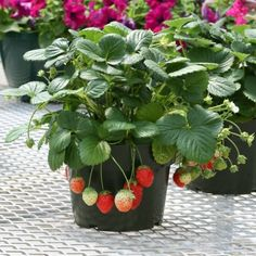 Temptation - Strawberry | Vegetalis
