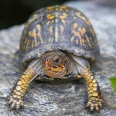 Beneficial Bugs and Beasties of Your Backyard Box Turtles -beneficial insects and animals to your … Beautiful Creatures, Animals Beautiful, Cute Animals, Reptiles And Amphibians, Mammals, Eastern Box Turtle, Turtle Care, Tortoise Turtle, Tortoise Care