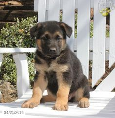 German Shepherd Puppy for Sale in Pennsylvania